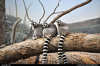 Photo by Catz | Bronx  Bronx Zoo,lemurs