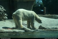Photo by WestCoastSpirit | New York  zoo, san diego, bear, polar bear