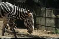 New-york, Mr Zebra parading at the zoo...