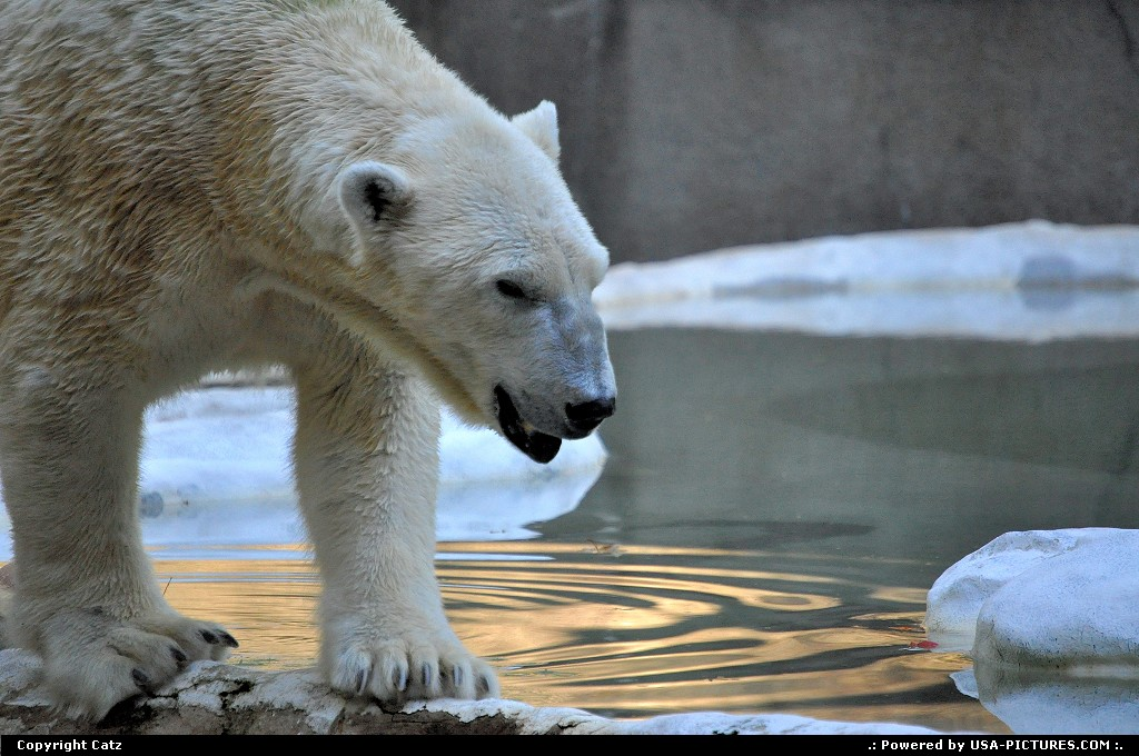 Picture by Catz: Bronx New-york   bronx zoo, polarbear