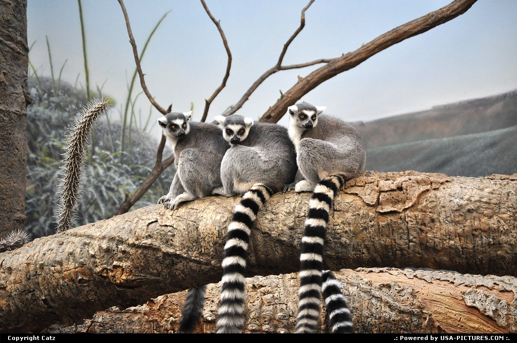 Picture by Catz: Bronx New-york   Bronx Zoo,lemurs
