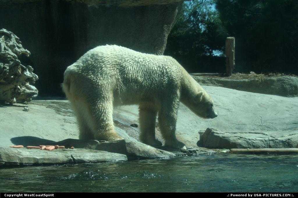 Picture by WestCoastSpirit:New YorkNew-yorkzoo, san diego, bear, polar bear