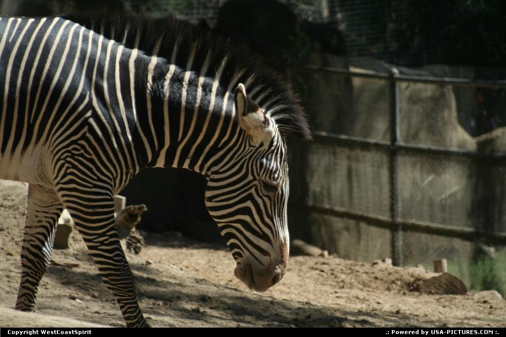 Picture by WestCoastSpirit:New YorkNew-yorkzoo, san diego, zebra