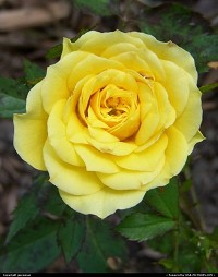 This is a miniature rose. I have several different colors planted in my flower bed.