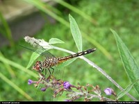 A dragonfly on a butterfly bush.