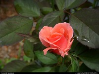 A coral rose in my flower bed.