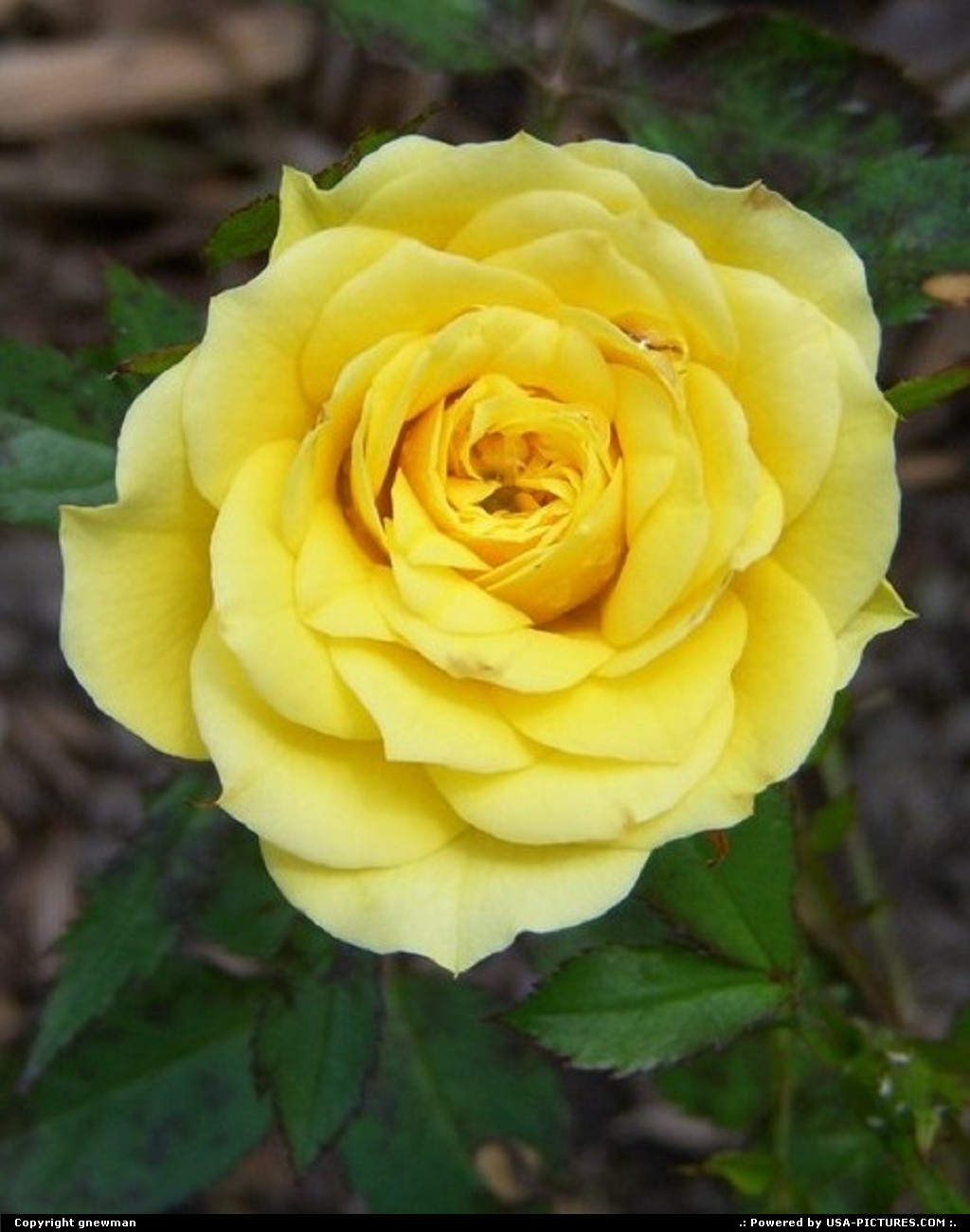 Picture by gnewman: West Portsmouth Ohio   flower, rose, nature