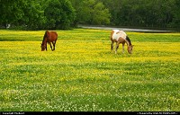 Photo by TheRev3 | Tulsa  Oklahoma, Tulsa Oklahoma, countryside, meadows, horses, horses grazing, horses in field of yellow, springtime, spring, colors, colorful, grazing, Indian Paint horse