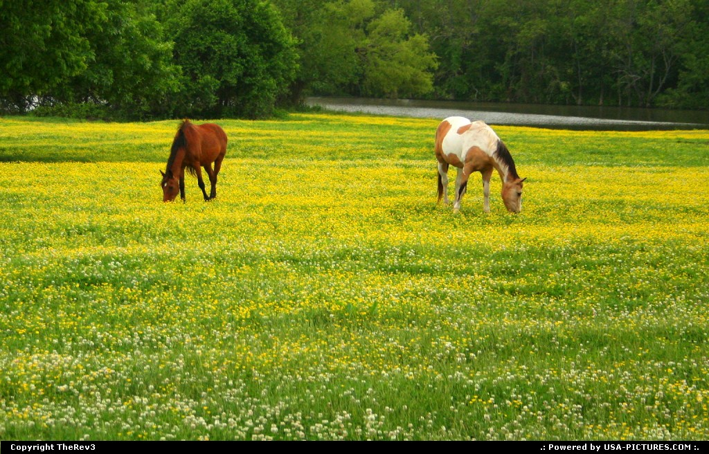 Picture by TheRev3:TulsaOklahomaOklahoma, Tulsa Oklahoma, countryside, meadows, horses, horses grazing, horses in field of yellow, springtime, spring, colors, colorful, grazing, Indian Paint horse