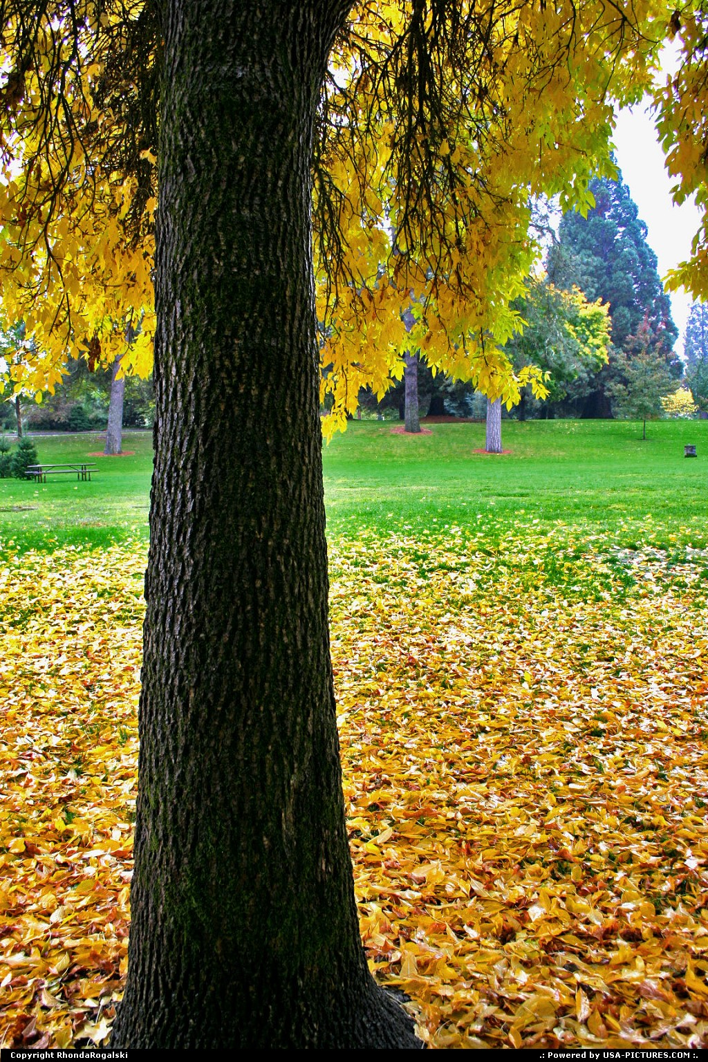 Picture by RhondaRogalski: Grants Pass Oregon   fall, autumn, leaves, gold, yellow, tree, park, maple, oregon, grants pass, rogalski