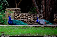 Austin : Mayfield Park and Preserve. The peacocks were gifts from friends in 1935 and their descendants are here today.