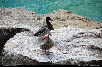 Ducks at Lake Travis