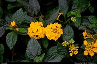 Yellow Lantana in Austin, TX