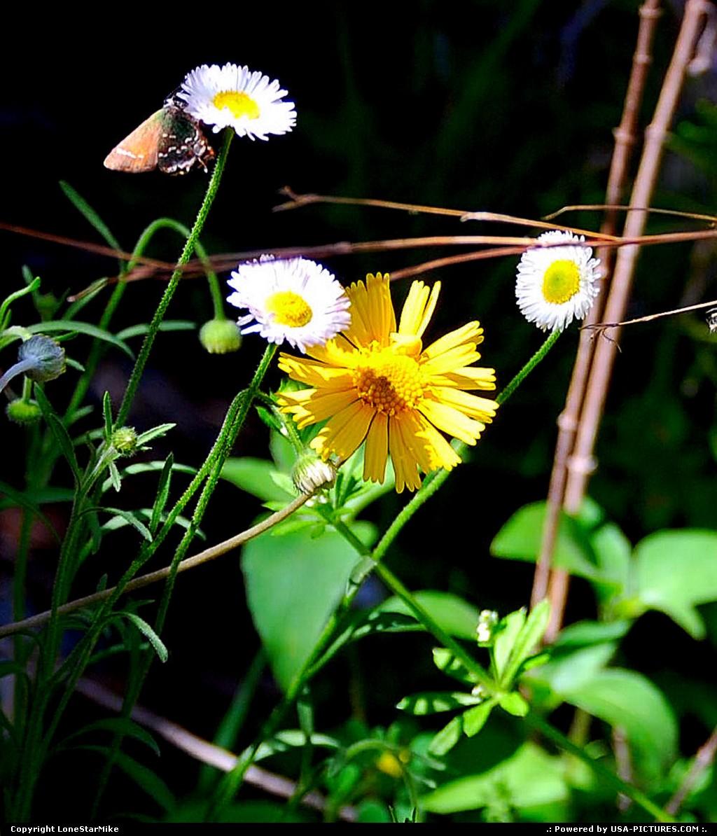 Picture by LoneStarMike:AustinTexasflower, wildflowers, butterfly