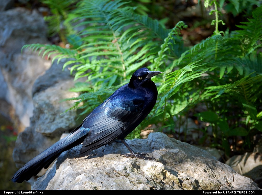 Picture by LoneStarMike: Austin Texas   crow, park, garden