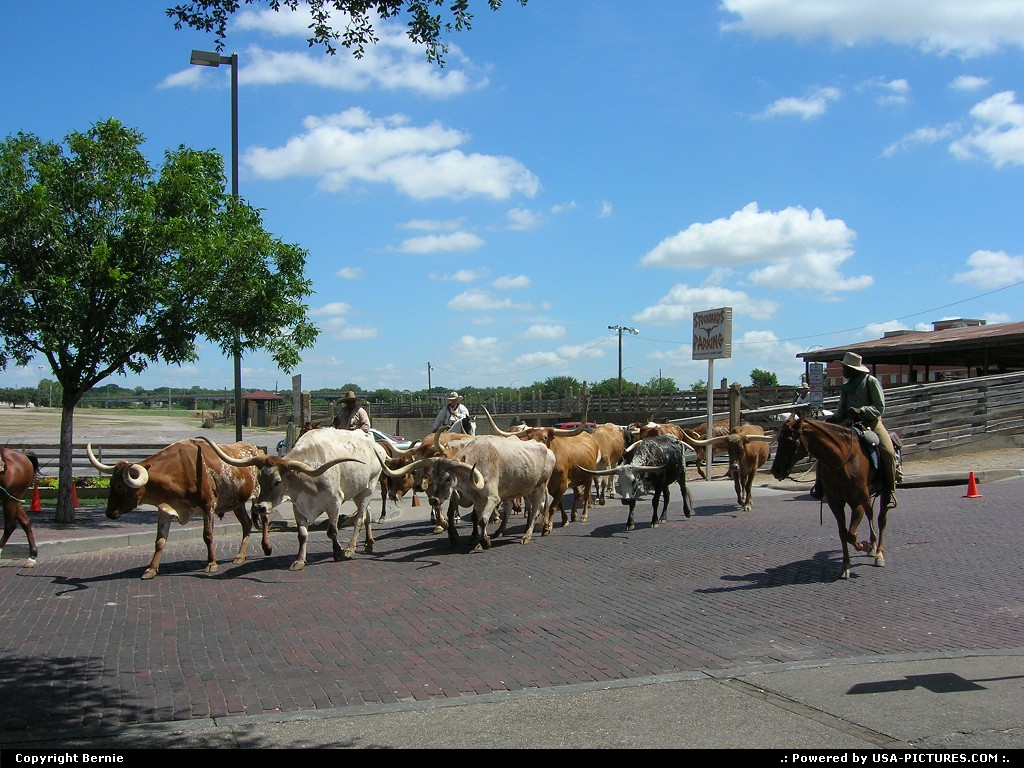 Picture by Bernie: Fort Worth Texas   cows, horses, cowboys