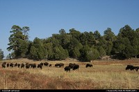 Not in a City : Bisons along the road 9, near the east entrance of Zion National Park.