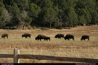 Bisons around Zion National Park.