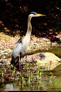 Newport News : Heron at Newport News, Va park