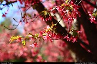 Newport News : Cherry Blossoms