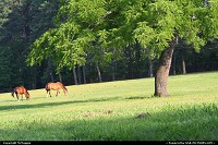 Horses in a field, Colonial Williamsburg, Williamsburg, Virginia, USA.