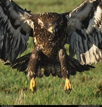 Photo by Brentlee | Mount Vernon  birds, eagles, birds of prey, bald eagles