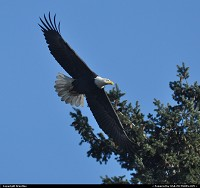 Washington, Treetop Eagle
