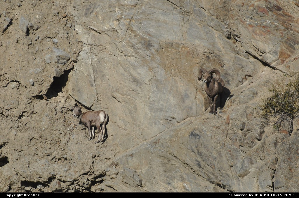 Picture by Brentlee: Mount Vernon Washington   Bighorn sheep